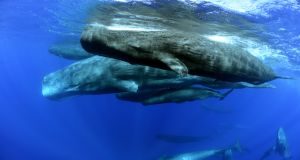 Protect Whales in Mauritius